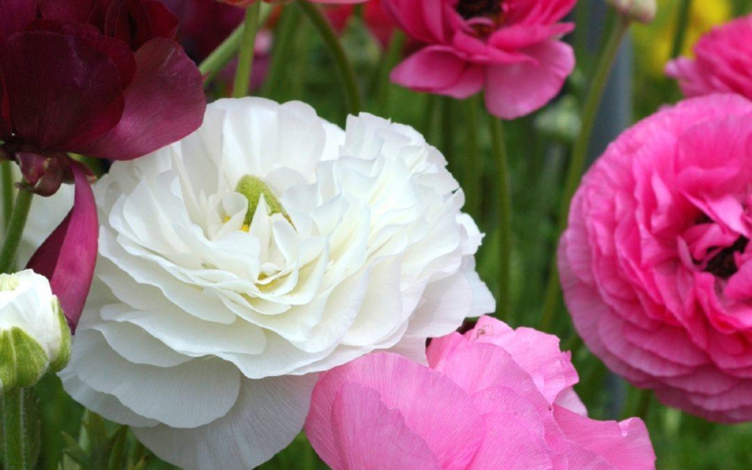 Winter-Spring Flowering Bulbs