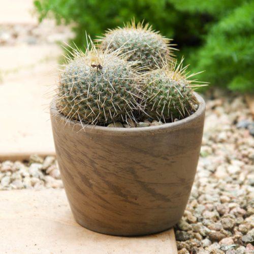 Small Cactus