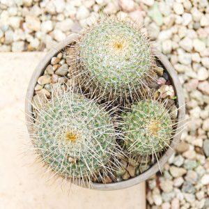 Planted Cactus Variety 30CM