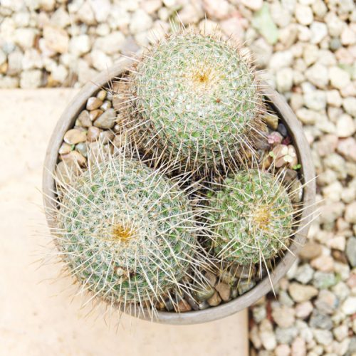 Small Cactus2