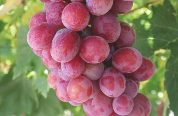 Grape Ralli