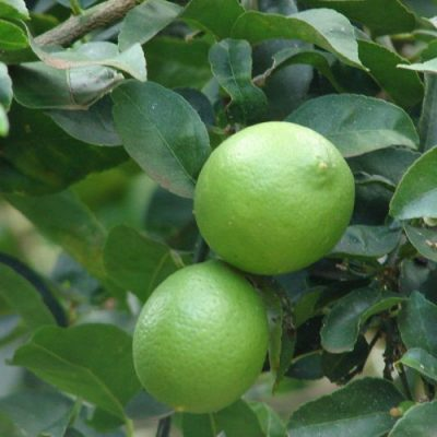 Bearrs-Lime2-e1529315580659-400x400 Fruit Trees