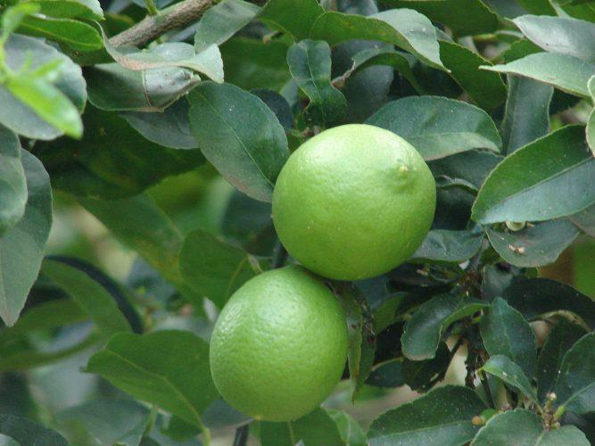 Citrus Bearss Lime