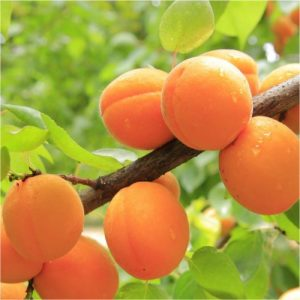 Peach 'Kakamas'