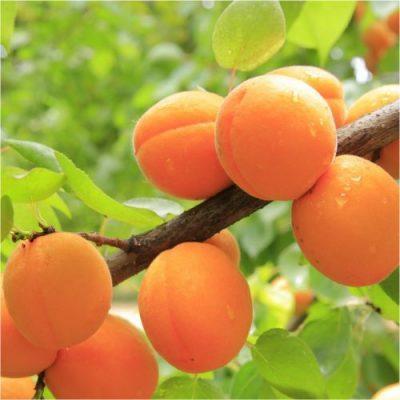 Peach Kakama