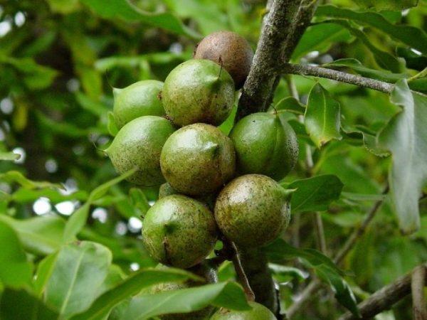 Macadamia Nut2