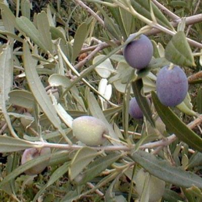 Olive-Mission-400x400 Fruit Trees