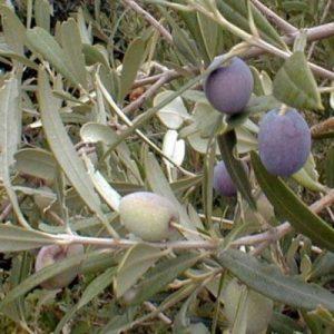 Olive Mission