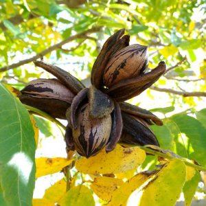 Pecan Nut Barton