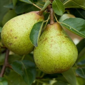 Pear Early Bon Chretein