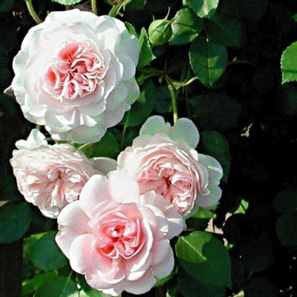 31000299 -Rose-MyGranny