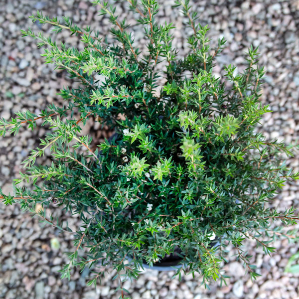 70043730 - Leptospermum Confetti - Tea Bush (3)