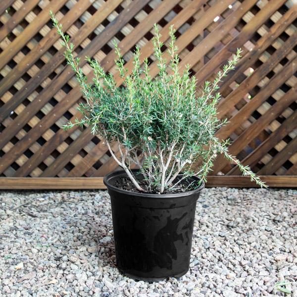 70043730 - Leptospermum Confetti - Tea Bush
