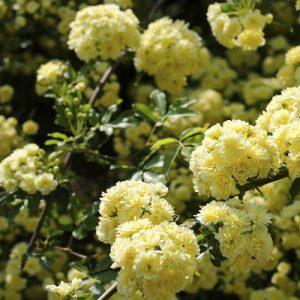 Rose Banksia 10l