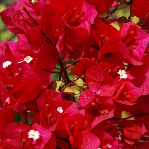 Bougainvillea of 4 (1)