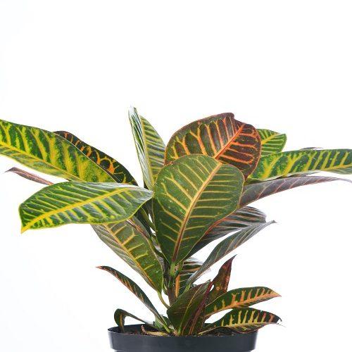 Codiaeum hybrid Variety