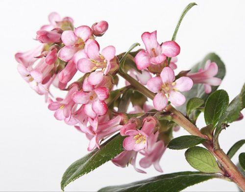 Escalonia Pink Princess