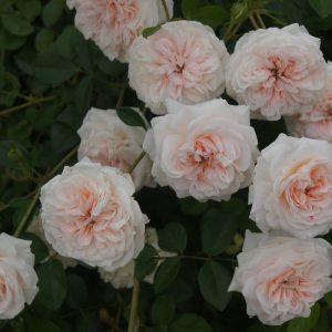 Rose Granny Dearest STD