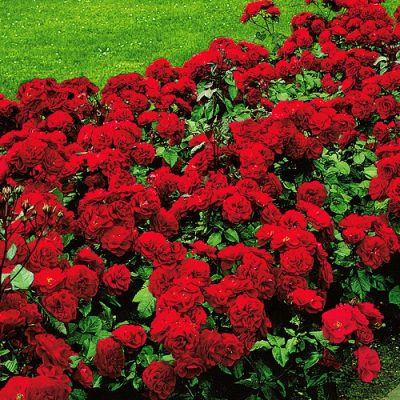 Rose Little Red Hedge 17cm