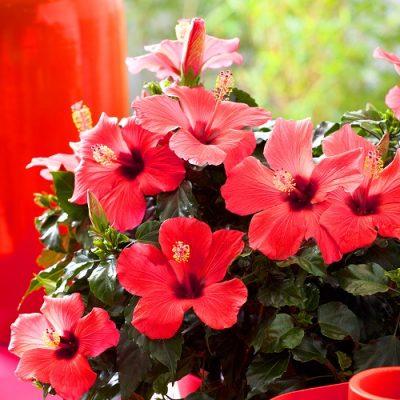 Hibiscus Varieties 2m