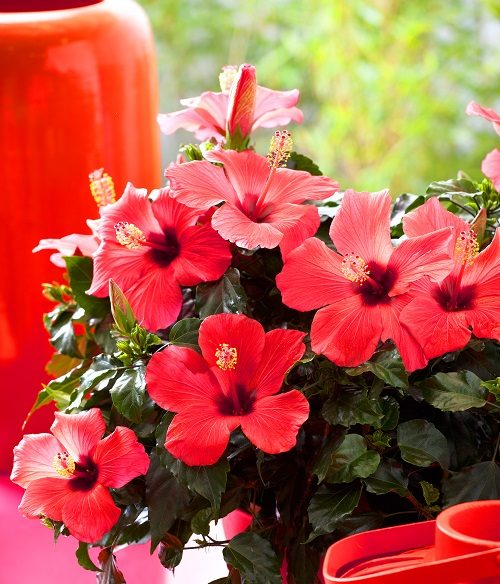 Hibiscus Varieties