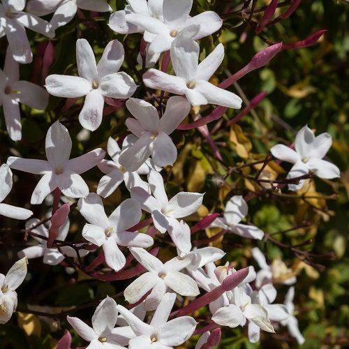 Jasmin polyanthemum