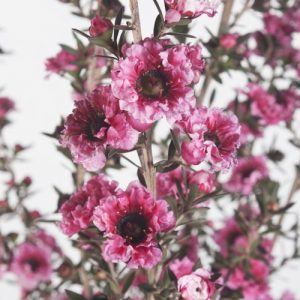 Leptospermum Burgundy Queen