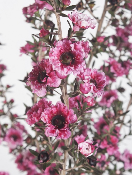 Leptospermum burgandy queen (4)