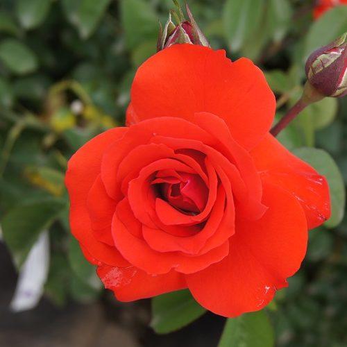 Rose Satchmo