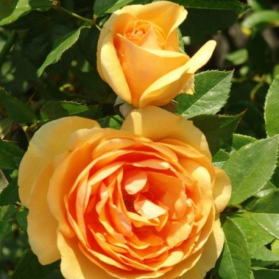 Rose South Africa 4l