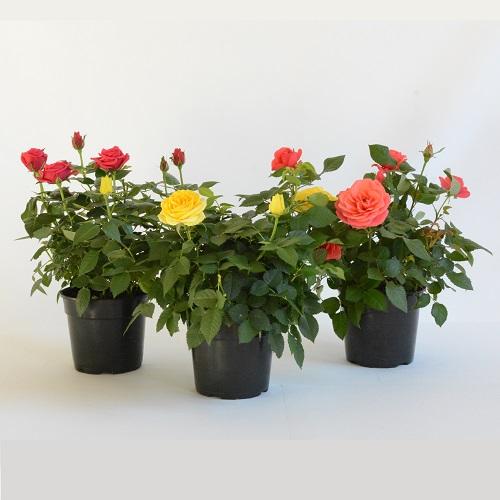Patio Rose 16.5cm