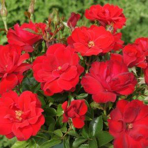 Rose Rooi Rok 5l