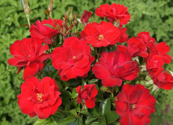 Rose Rooi Rok