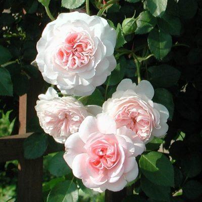 Rose My Granny 5l