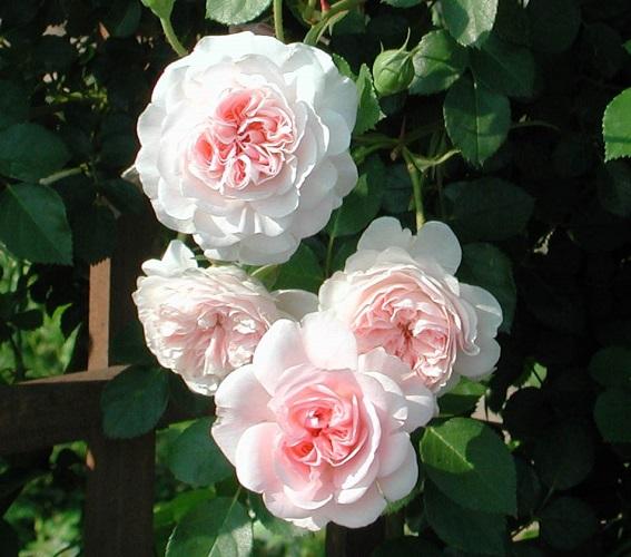Rose MyGranny