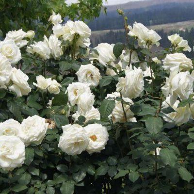 Rose Tineke 4l