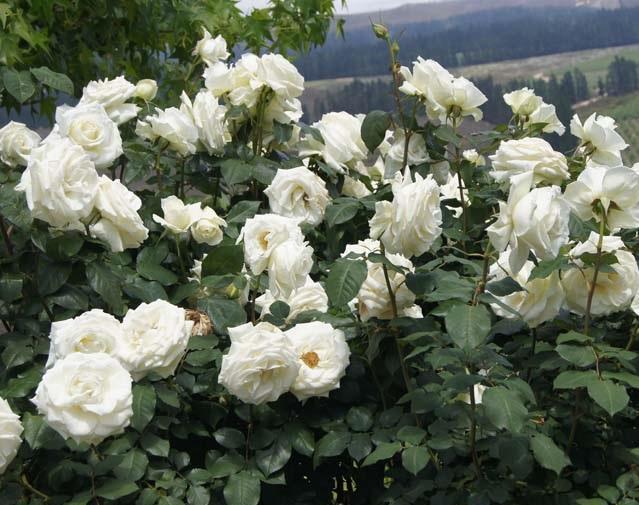 Rose Tineke