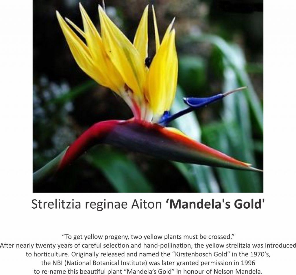 Strelitzia - Mandela's Gold