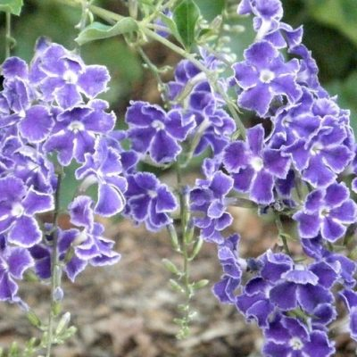 12935-Sapphire-Showers-Duranta-400x400 OUTDOOR PLANTS