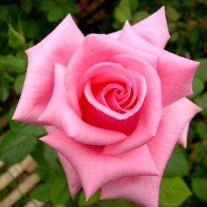 Rose Andrea Steltzer