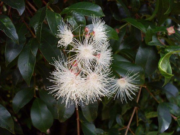 Syzygium_paniculatum_