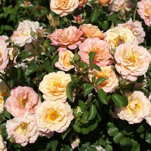 Rose Deloitte Touche
