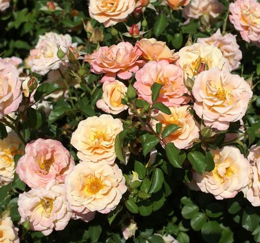 88805780 - Rose Deloitte Touche