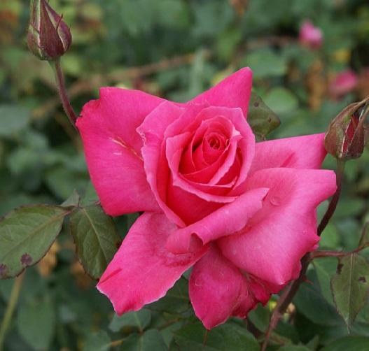 Rose Electron