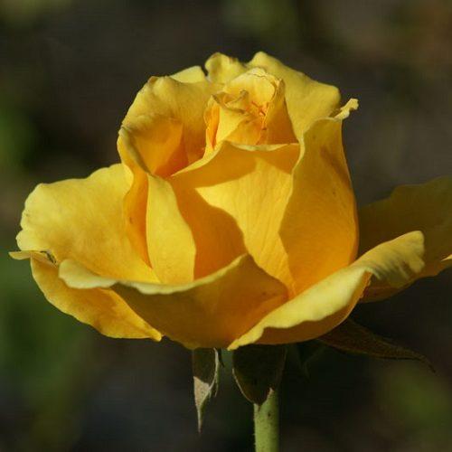 Rose Germiston Gold