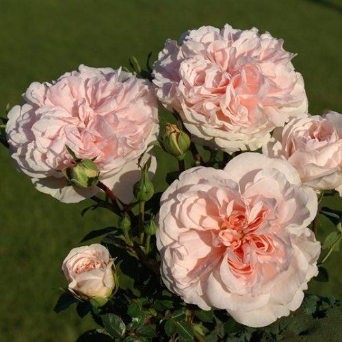 Rose Granny Dearest