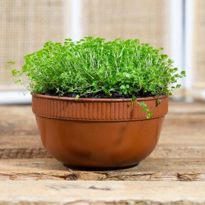 Peace in the Home – Soleirolia soleirolii 15cm