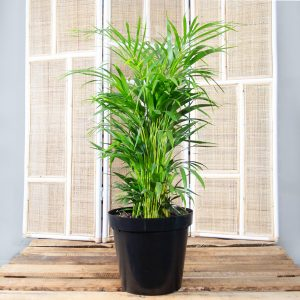 Bamboo Palm – Chamaedorea elegans 30cm
