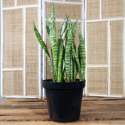 Mother-in-law's tongue – Sansvieria 30cm