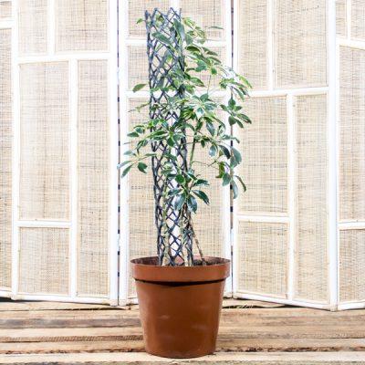 Umbrella Tree – Schefflera 30cm